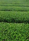 чай фермы стоковое изображение rf