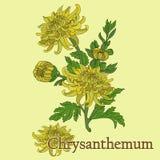Чай хризантемы Иллюстрация завода в векторе с подачей стоковое изображение