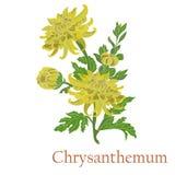 Чай хризантемы Иллюстрация завода в векторе с подачей стоковые изображения