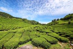 чай 01 плантации Стоковые Фотографии RF