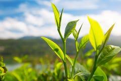 Чай sinensis камелии Стоковые Изображения RF