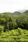 чай sri плантации lanka Стоковое Фото