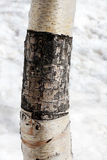 Частично обнажанная расшива березы, деталь Стоковая Фотография RF