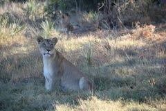 Частично слепой лев Стоковое Изображение