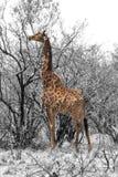 Частично черно-белое изображение жирафа есть листья Стоковые Фотографии RF
