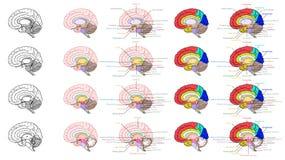 Части взгляда со стороны анатомии человеческого мозга иллюстрация вектора