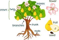 Части завода Словотолкование грушевого дерев дерева с плодоовощами, цветками, листьями зеленого цвета и системой корня на белой п иллюстрация штока