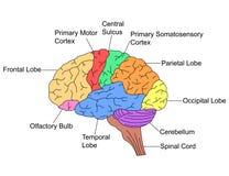 Части мозга иллюстрация вектора