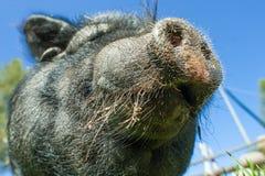Частность черного pig& x27; рыльце s Стоковые Изображения RF