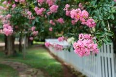 Частокол вдоль розовых миртов Crepe стоковое фото rf