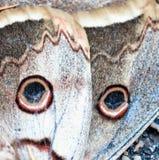 Часть бабочки конского каштана Стоковые Изображения