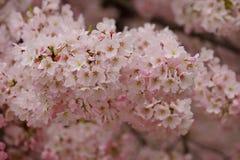 Часть вишневого дерева в свете - розовом цветении весны Стоковое Изображение