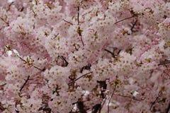 Часть вишневого дерева в свете - розовом цветении весны Стоковые Фото