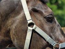 Часть головы лошади с концом уздечки вверх Стоковое Фото