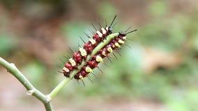 Часть 2 гусениц cyane Cethosia Lacewing леопарда 2 акции видеоматериалы