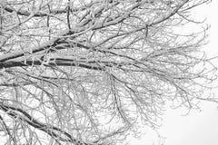 Часть дерева, ветви покрытые со снегом, черно-белым фото стоковое изображение rf