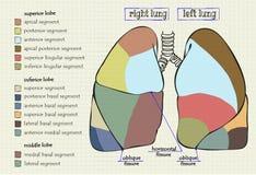 Часть диаграммы чертежа человеческого легкего Стоковое Изображение