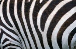 Часть кожи зебры Кения Танзания Национальный парк serengeti Maasai Mara Стоковые Изображения