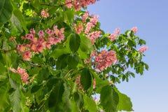 Часть красного зацветая дерева каштанов конских Стоковые Изображения RF