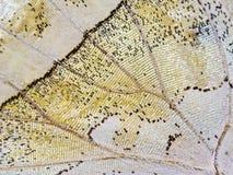 Часть крыла бабочки мат--жемчуга леса Стоковые Изображения RF
