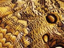 Часть крыла бабочки сыча леса гигантской, eurilochus Caligo Стоковое Изображение RF