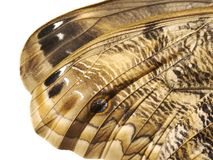 Часть крыла сыча леса гигантского, или бабочка Caligo Стоковое Фото