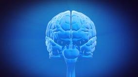 Часть мозга - БАЗАЛЬНЫЕ ГАНГЛИИ иллюстрация штока