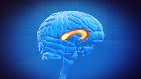 Часть мозга - МОЗОЛИСТОЕ ТЕЛО иллюстрация вектора