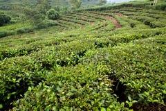 Часть плантации чая Стоковое Изображение