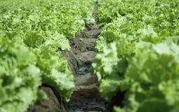 Часть поля салата Стоковое Изображение
