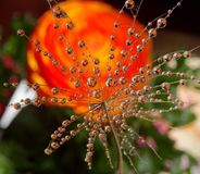 Часть семени одуванчика с падениями воды на красочной предпосылке стоковые изображения