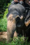 Часть слона Азии идет в джунгли Стоковое Фото