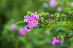 Часть сочного кустарника плода шиповника, богато обитая с розовыми цветками под золотым солнечным светом Влюбленность, счастье, w стоковая фотография rf