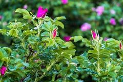 Часть сочного кустарника плода шиповника, богато обитая с розовыми цветками под золотым солнечным светом Влюбленность, счастье, w стоковые фотографии rf