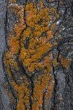 Часть тополя коры дерева с оранжевым мхом Стоковые Фотографии RF