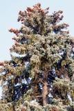 Часть хвойного дерева на правильной позиции изображения против голубого неба с белыми облаками, елевые ветви крышка Стоковая Фотография