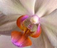 Часть цветка красивого фаленопсиса орхидеи Стоковое Изображение RF