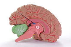 часть человека мозга Стоковые Изображения