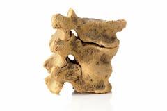 Часть человеческого позвоночника, костяка, на белизне стоковые изображения rf