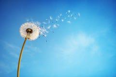 Часы одуванчика рассеивая семя Стоковая Фотография RF
