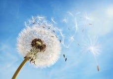 Часы одуванчика рассеивая семя Стоковые Изображения RF