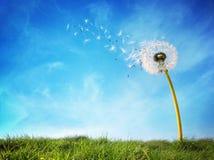 Часы одуванчика рассеивая семя Стоковая Фотография