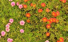 Часы ` часов 10 o ` Portulaca grandiflora 11 o цветут Стоковые Изображения