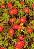 Часы ` часов 10 o ` Portulaca grandiflora 11 o цветут Стоковые Фото