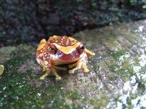 Часы Treefrog Стоковая Фотография