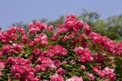 Чашка зацветает розовый подняла в сад Стоковое Изображение