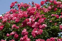Чашка зацветает розовый подняла в сад Стоковые Изображения