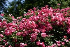 Чашка зацветает розовый подняла в сад Стоковая Фотография