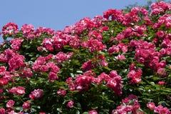 Чашка зацветает розовый подняла в сад Стоковые Фотографии RF