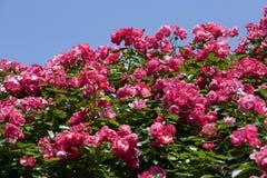 Чашка зацветает розовый подняла в сад Стоковые Изображения RF